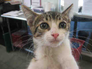 Mix-Bred DOMESTIC SHORTHAIR Female  Young  Kitten #A352858#  - click here to view larger pic