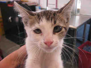 Mix-Bred DOMESTIC SHORTHAIR Male  Young  Kitten #A352859#  - click here to view larger pic