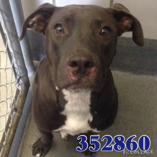 AMERICAN STAFFORDSHIRE TERRIER Male  Young  Puppy #A352860#  - click here to view larger pic