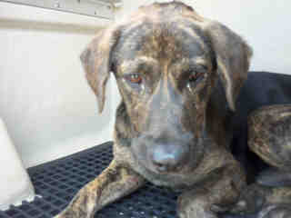Mix-Bred CATAHOULA LEOPARD HOUND Male  Adult  Dog #A352866#  - click here to view larger pic