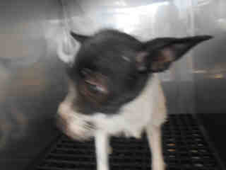 CHIHUAHUA - SMOOTH COATED Female  Young  Puppy #A352869#  - click here to view larger pic