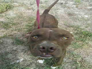Mix-Bred AMERICAN STAFFORDSHIRE TERRIER Male  Adult  Dog #A352874#  - click here to view larger pic