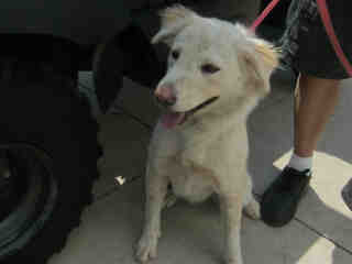 Mix-Bred AUSTRALIAN SHEPHERD Female  Adult  Dog #A352875#  - click here to view larger pic