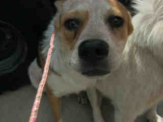 Mix-Bred AUSTRALIAN CATTLE DOG Male  Adult  Dog #A352876#  - click here to view larger pic