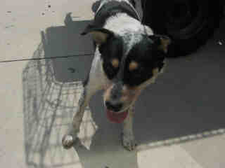 Mix-Bred AUSTRALIAN CATTLE DOG Male  Adult  Dog #A352878#  - click here to view larger pic