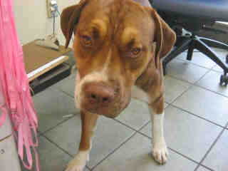 Mix-Bred AMERICAN BULLDOG Male  Adult  Dog #A352880#  - click here to view larger pic