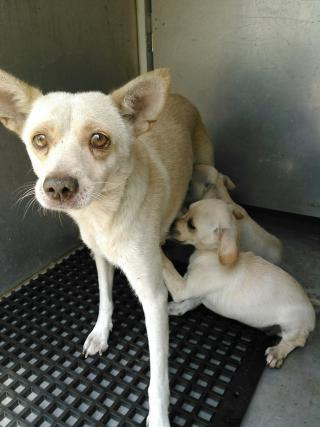 Mix-Bred LABRADOR RETRIEVER Female  Adult  Dog #A352884#  - click here to view larger pic