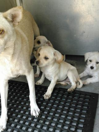 Mix-Bred LABRADOR RETRIEVER Male  Young  Puppy #A352887#  - click here to view larger pic