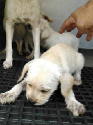 Mix-Bred LABRADOR RETRIEVER Female  Young  Puppy #A352891#  - click here to view larger pic