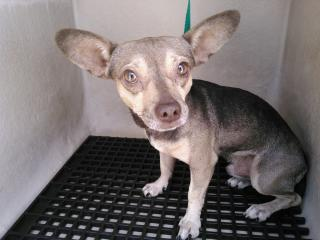 Mix-Bred CHIHUAHUA - SMOOTH COATED Male  Adult  Dog #A352893#  - click here to view larger pic