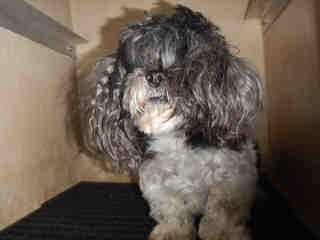 LHASA APSO Male  Older  Dog #A352894#  - click here to view larger pic