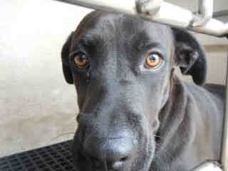 LABRADOR RETRIEVER Male  Young  Puppy #A352896#  - click here to view larger pic