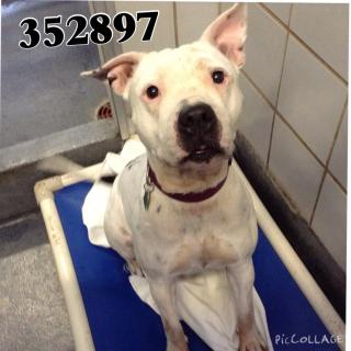 AMERICAN STAFFORDSHIRE TERRIER Female  Adult  Dog #A352897#  - click here to view larger pic