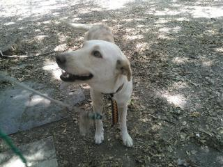 Mix-Bred LABRADOR RETRIEVER Female  Adult  Dog #A352903#  - click here to view larger pic
