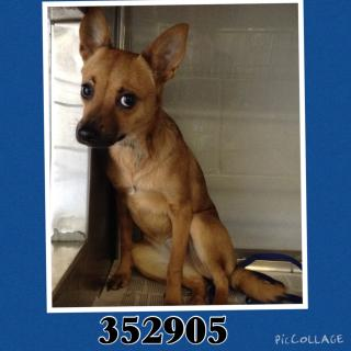 CHIHUAHUA - SMOOTH COATED Female  Young  Puppy #A352905#  - click here to view larger pic