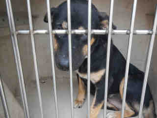 Mix-Bred SHEPHERD Female  Adult  Dog #A352908#  - click here to view larger pic