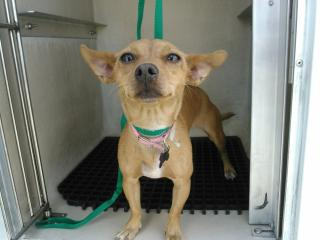 Mix-Bred CHIHUAHUA - SMOOTH COATED Female  Young  Puppy #A352914#  - click here to view larger pic