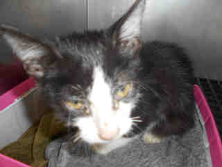 Mix-Bred DOMESTIC SHORTHAIR Male  Young  Kitten #A352915#  - click here to view larger pic