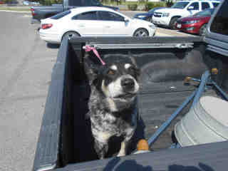 <u> Mix-Bred AUSTRALIAN CATTLE DOG Female  Older  Dog  (Secondary Breed: BLEND)</u>