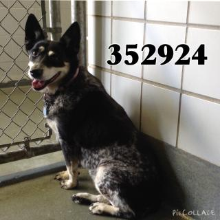 Mix-Bred AUSTRALIAN CATTLE DOG Female  Older  Dog #A352924#  - click here to view larger pic