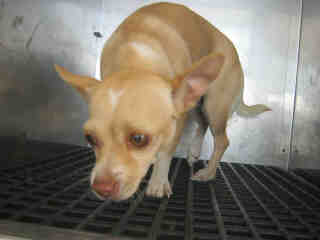 CHIHUAHUA - SMOOTH COATED Female  Adult  Dog #A352926#  - click here to view larger pic
