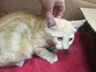 Mix-Bred DOMESTIC SHORTHAIR Male  Young  Kitten #A352937#  - click here to view larger pic