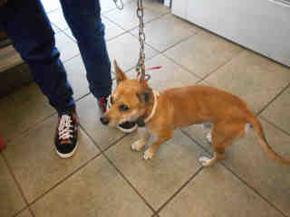 CHIHUAHUA - SMOOTH COATED Male  Young  Puppy #A352941#  - click here to view larger pic