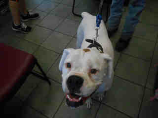 Mix-Bred BOXER Male  Young  Puppy #A352953#  - click here to view larger pic