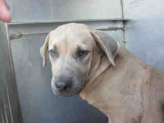Mix-Bred MASTIFF Male  Young  Puppy #A352965#  - click here to view larger pic