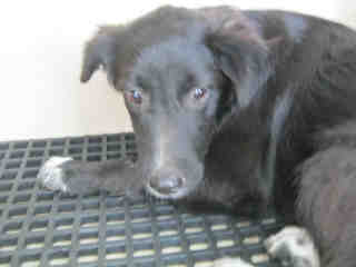 Mix-Bred BORDER COLLIE Female  Young  Puppy #A352974#  - click here to view larger pic