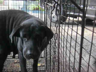 Mix-Bred LABRADOR RETRIEVER Female  Adult  Dog #A352979#  - click here to view larger pic