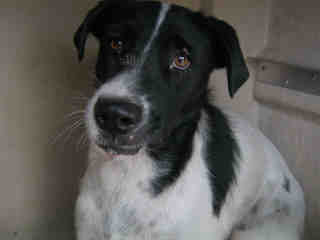 Mix-Bred DALMATIAN Male  Adult  Dog #A352983#  - click here to view larger pic