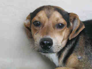 Mix-Bred BEAGLE Male  Young  Puppy #A352985#  - click here to view larger pic