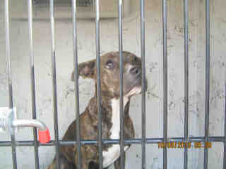 Mix-Bred BOXER Female  Young  Puppy #A352986#  - click here to view larger pic