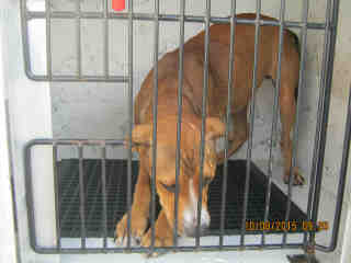 Mix-Bred BOXER Male  Young  Puppy #A352987#  - click here to view larger pic