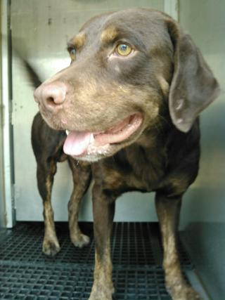 LABRADOR RETRIEVER Male  Adult  Dog #A352996#  - click here to view larger pic