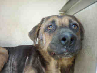 Mix-Bred SHEPHERD Male  Adult  Dog #A353000#  - click here to view larger pic