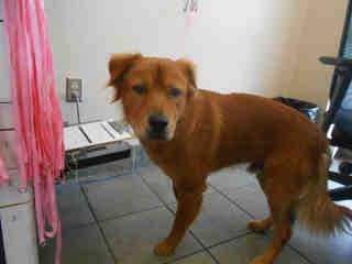 Mix-Bred LABRADOR RETRIEVER Male  Adult  Dog #A353006#  - click here to view larger pic