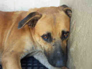 Mix-Bred SHEPHERD Male  Adult  Dog #A353008#  - click here to view larger pic