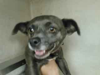 Mix-Bred CHIHUAHUA - SMOOTH COATED Female  Adult  Dog #A353009#  - click here to view larger pic