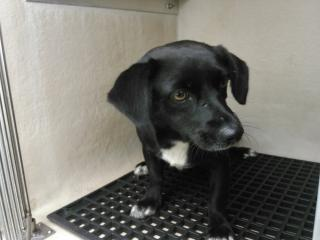 Mix-Bred CHIHUAHUA - LONG HAIRED Female  Adult  Dog #A353011#  - click here to view larger pic