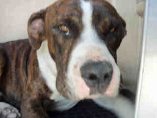 Mix-Bred AMERICAN STAFFORDSHIRE TERRIER Male  Adult  Dog #A353013#  - click here to view larger pic