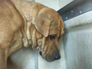 Mix-Bred LABRADOR RETRIEVER Male  Adult  Dog #A353014#  - click here to view larger pic