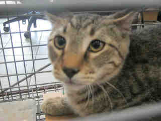 Mix-Bred DOMESTIC SHORTHAIR Male  Adult  Cat #A353020#  - click here to view larger pic