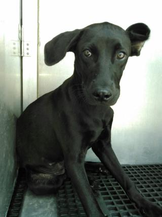 Mix-Bred LABRADOR RETRIEVER Female  Young  Puppy #A353027#  - click here to view larger pic
