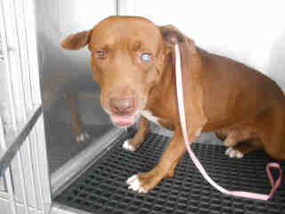 AMERICAN STAFFORDSHIRE TERRIER Male  Adult  Dog #A353034#  - click here to view larger pic