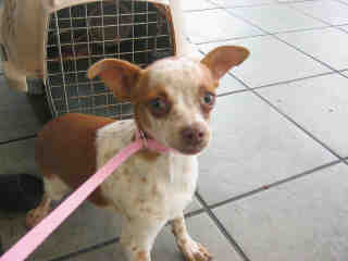 CHIHUAHUA - SMOOTH COATED Male  Young  Puppy #A353038#  - click here to view larger pic