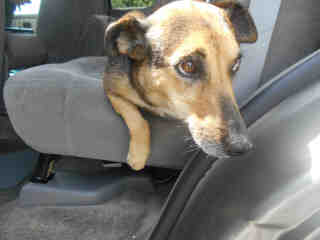 Mix-Bred SHEPHERD Female  Adult  Dog #A353040#  - click here to view larger pic
