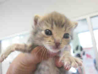 Mix-Bred DOMESTIC SHORTHAIR Female  Young  Kitten #A353044#  - click here to view larger pic