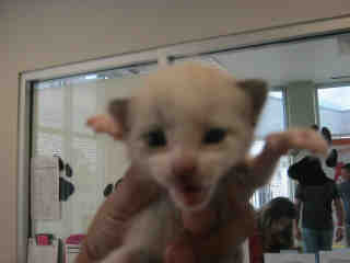 Mix-Bred DOMESTIC SHORTHAIR Female  Young  Kitten #A353047#  - click here to view larger pic